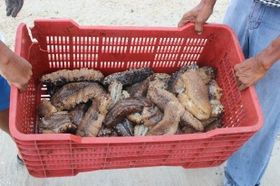 Sea cucumber fishing season 2016 (Dzilam de Bravo, Yucatan, Mexico). Credit: Eva Coronado, National Polytechnic Institute, Mexico.
